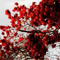 The cherry on top.   #lawofattraction #grateful #artofliving #tree #trees #leaves #berries #berry #colour #landscape #naturelovers #nikon #naturephotography #nature #light #beauty #heart #catchycolours (jophipps1) Tags: nikon landscape colour berry naturephotography beauty artofliving heart trees lawofattraction light nature tree berries naturelovers leaves grateful