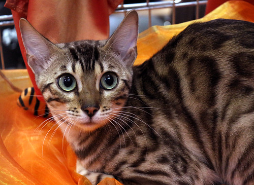 Bengal Cat, probably mink