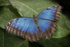 Blue Morpho  Morpho peleides (barriebrown) Tags: bluemorpho butterflies insects nature wisley wildlife macro