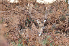 JDW_2002-1 (John.Walton) Tags: richmond richmondroyalpark richmondpark london england uk wildlife deer reddeer roedeer stags royalpark park does doe