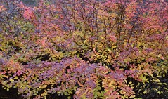 Autumn Spyrea Glow (Harry Lipson) Tags: foliage plant shrub shrubbery autumn fall colorful leaves harrylipson spyrea harrylipsoniii