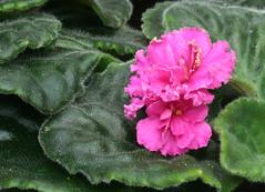 18-IMG_4745 (hemingwayfoto) Tags: berggartenhannover blhen blte blume flora floristik natur topfpflanze usambara usambaraveilchenkorolevafov veilchen zierpflanze zuchtform