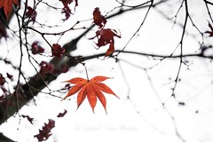 Colors of Autumn (Syahrel Azha Hashim) Tags: autumn nature leaf sony 2016 shallow holiday nopeople simple kyoto details a7ii ilce7m2 dof bokeh season getaway handheld colorimage vacation prime light naturallight colorful beautiful tree travel syahrel 35mm sonya7 colors leafs outoffocus fall japan detail