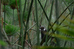 Red-tailed monkey in the papyrus (supersky77) Tags: redtailedmonkey monkey scimmia cercopithecusascanius blackcheekedwhitenosedmonkey redtailedguenon redtailmonkey schmidtsguenon bigodi swamp palude papiro papyrus wetland uganda africa cercopiteconasobiancodelcongo