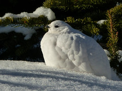White beauty (annkelliott) Tags: alberta canada rockymountains canadianrockies kananaskis nature ornithology avian bird birds whitetailedptarmigan lagopusleucura white inthesnow smallestgrouseinnorthamerica sideview alpine featheredtoes camouflage snow tree branches fall autumn outdoor 29november2016 fz200 fz2004 annkelliott anneelliott anneelliott2016 allrightsreserved