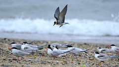 Juvenile Black Tern (Chlidonias niger) coming in off the water to rest (Steve Arena) Tags: flying inflight nikon provincetown massachusetts flight d750 juvenile tern 2015 racepoint blacktern chlidoniasniger racepointbeach marshtern barnstablecounty blte flightshot racepointbeachnorth