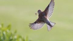 Linotte mlodieuse, Af, v (R, 2014-05-04_2) (th_franc) Tags: oiseau linottemlodieuse