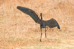 black ibis (buntehof) Tags: portugal vogels landing salgados zwarteibis