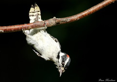Get A Grip (Diane Marshman) Tags: red summer white motion black tree male bird nature face wings holding woodpecker branch breast action head stripes wildlife chest small spot pa underneath northeast downy pennyslvania