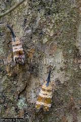 38375 A lantern bug (Pyrops spinolae) on a tree in Phanom Bencha National Park, Krabi, Thailand. (K Fletcher & D Baylis) Tags: animal fauna insect thailand asia wildlife krabi planthopper lanternbug fulgoridae lanternfly pyrops khaophanombenchanationalpark pyropsspinolae september2015