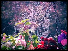 Dew-laden orb web (Diego Sideburns) Tags: autumn garden spidersweb spidersilk orbweb spinerets proteinaceousspidersilk