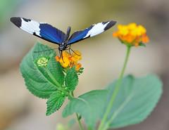 Heliconius sara JVA_1030 (mrjean.eu) Tags: sara sp atlas demi insectes attacus papillons heliconiinae deuil heliconius phaetusa dryatula