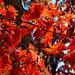 More Old Oak Leaves