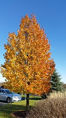 Fall tree, Ann Arbor (Tatiana12) Tags: garydeb album 2015 christmasletter travel lifetravel michigan fall
