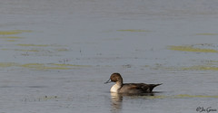 Northern Pintail - Male (jdcalvin096) Tags: nature minnesota feathers pintail egglaying naturescreations