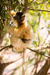 LEMUR-PARK-69 (RAFFI YOUREDJIAN PHOTOGRAPHY) Tags: park city travel trees plants baby white cute green animal fauna canon river jumping sweet turtle wildlife bricks mother adorable adventure explore lemur 5d lemurs bushes madagascar 70200 antananarivo mkiii
