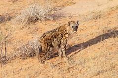 Spotted Hyaena (tim ellis) Tags: holiday animal southafrica kalahari hyaena northerncape crocutacrocuta spottedhyaena kgalagadi kgalagaditransfrontierpark transfrontierpark tweerivieren laughinghyaena xauslodge raremammals