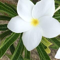 Garden flowers (Simone Scott) Tags: flower caymanislands caymanbrac simonescott