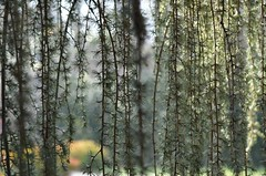 Weeping Spruce (bankst) Tags: nature beauty outdoors greenery spruce weeping autofocus weepingspruce d5100 theresabanks