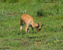 JHG_6940-b Bohor Reedbuck buck grazes in a swamp, Amboseli, Kenya. (GavinKenya) Tags: africa wild nature animal june john mammal photography gavin photographer kenya african wildlife july grand safari dk naturephotography kenyasafari africansafari 2015 safaris africanwildlife africasafari johngavin wildlifephotography kenyaafrica kenyawildlife dkgrandsafaris africa2015 safari2015 johnhgavin
