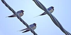 DSCN0507 (ermenegildore) Tags: birds uccelli swallow rondine