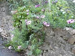 Un mur bien fleuri pour Noel (cevenole30) Tags: