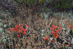 Heathland lichens (Gillian Pullinger) Tags: nature surrey lichen thursley britishsoldiers cladoniacristatella matchsticklichen