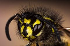 wasp (Альгис) Tags: canon macro macrodreams spb russia nature natgeo insect wasp yellowjacket bee beauty спб макро насекомое оса пчела усы ngc