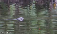 Giant otter2 (tau247) Tags: amazonianrainforest giantotter manunationalpark peru pteronurabrasiliensis southamerica aquatic carnivore mammal nature predator rare threatened wildlife
