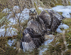 Roughed-legged Hawk (Peter Stahl Photography) Tags: roughleggedhawk hawk hunting fall snow vole outdoors