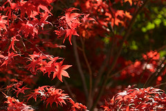 IMG_6698.JPG (David Chien 的相片集) Tags: autumn leaves red yellow orange 秋 紅 葉