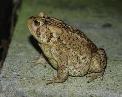 Frog (simonsound1) Tags: frog animals