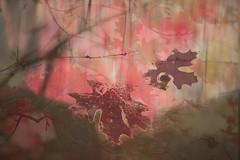 Fade Away (Karen McQuilkin) Tags: maple fade mapleleaves fall autumn icm