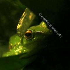 I seeee you....  #amarkaiphotography #nature #wildlife #frog #green #leaves #torontozoo #toronto #zoo #travel #travelphotography #photooftheday #followme #facebook #instagram #flickr #twitter #eyeem #tumblr (Amarkai Photography) Tags: instagramapp square squareformat iphoneography uploaded:by=instagram wildlife frog amarkaiphotography nature naturelover amphibians toronto zoo travel travelphotography photooftheday green