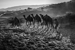 L1003311-2.jpg (Bharat Valia) Tags: pushkarfair bharatvalia desert rajasthanportraits bharatvaliagmailcom sheperd pushkarimages pushkarmela festivalsofindia camel pushkarcamelfair pushkar