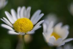 White Daisy (Sugi Ong) Tags: daisy white manual schneiderkreuznach curtagon