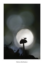 Le champignon et la mouche (bertholino fabrice) Tags: champignon bokeh fabricebertholino contrejour macro proxy mouche nikond600 sigma105macrooshsm nature biodiversit environnement