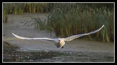 IMG_0056 Mute Swan (scotchjohnnie) Tags: muteswan cygnusolor ornithology bird birdphotography ukbirds waterbird waterfowl nature naturewildlifeandbirds wildlife wildanimal canon canoneos canon7dmkii canonef100400f4556lisiiusm scotchjohnnie