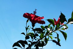 Hibiscus (Noel C. Hankamer) Tags: hibiscus flower floral nature tropical blossom plant beautiful leaf illustration petal isolated exotic summer background beauty red botanical bloom flora pretty garden bud blooming stamen natural hawaiian color bright foliage rosasinensis stem gorgeous botanic plants pistil colorful showy hibiscusflower tropicana green blue sky sun sunshine