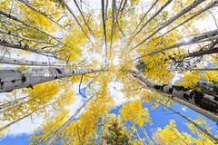Lost Among The Trees - Colorado Aspen in Fall (Cathy Neth) Tags: 1424mm coppellphotographer dentonphotographer flowermoundphotographer flowermoundphotography highlandvillagephotographer lewisvillephotographer aspen aspentrees aspentreesinautumn aspentreesincolorado aspentreesinfall autumn autumnincolorado beautifulaspen beautifullandscapes bluesky cathyneth changingcolors circularpolarizer cnethphotography coloradolandscapes composition d810 fall fallcolors fallincolorado forest forestchangingcolors goldenaspen goldenaspentrees landscape landscapephotography landscapes leefilters modernphotographer modernphotography mountainphotography mountains nationalforest nature naturephotography naturesbeauty nikon nikond810 photography photos rollingwhiteclouds sanjuannationalforest tree treecolors treephotography treephotos trees whiteclouds whitepuffyclouds yellowaspen