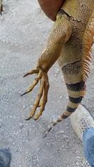 IMG_20151209_153059 (estradelirius) Tags: iguana garrobo