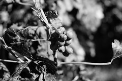 untitled-4-2 (christinaluthy) Tags: italy europe volcano mountvesuvius olive winebarrel wine grapes vineyard vesuvio grapevine