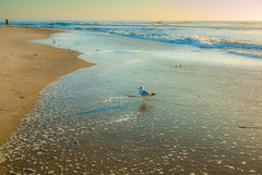 A Gull's World (Shannonsong) Tags: beach waves morning seashore nature birds seagull aves chincoteaguenwr virginia am dawn ocean water sea