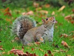 Squirrel (PhotoLoonie) Tags: squirrel greysquirrel britishwildlife wildlife britishwildanimal wildanimal animal ukanimal nature