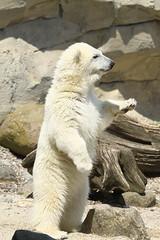 Zoo am Meer (Noodles Photo) Tags: zooammeer eisbr lili ursusmaritimus sugetier tierkinder polarbear
