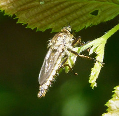 Robber fly (gailhampshire) Tags: robber fly