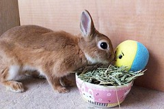 ICHIGO san 490 (mensore) Tags:  rabbit bunny netherlanddwarf brown ichigo
