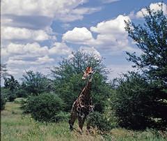Kruger Park Jan 1972 Yashica Lynx 5000, Kodachrome (aeomaster32) Tags: yashica lynx kodachrome film rangefinder krugerpark krugernational wildlife animals giraffe