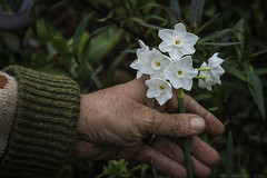 Paperwhites (julesnene) Tags: paperwhites white flower juliasumangil julesnene backyard garden canon7dmark2 canon7dmarkii nature happyhalloween formama