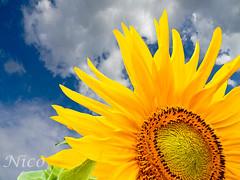 Flower, giant sunflower  DSCN2698 Tournesol  gant (Nicole Nicky) Tags: tournesolgant tournesol sunflower giantsunflower flower fleur jaune yellow summer t plant nature nikoncoolpix bright brillant ciel sky blue bleu clouds nuages